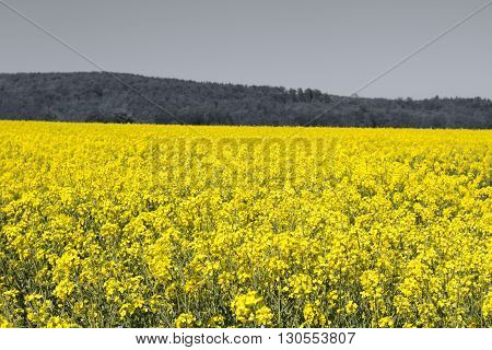 Rapeseed yellow field in spring, abstract natural sunny eco seasonal floral background