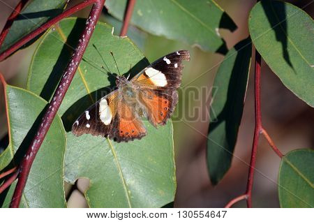 Australian Painted Lady Butterfly on a eucalyptus tree