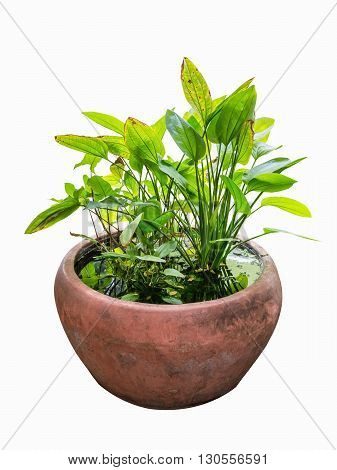 hydroponic green plant in water tank tropical ornamental plant