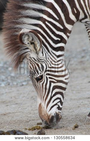 a picture of a zebra grazing away
