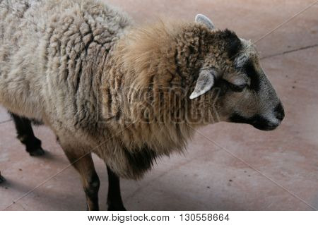 a picture of sheep on a farm