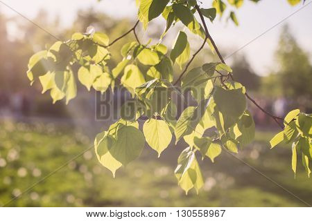 Leaves of linden tree lit  thorough by sun shining through summer. Background.