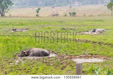 buffalo take a dip in in the grass field in Thailand