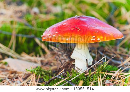 Bright Red Poisonous Mushroom Fly Agaric