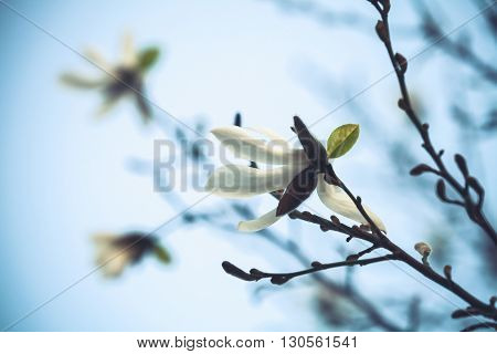 White Flowers Of Magnolia Tree Over Bright Blue