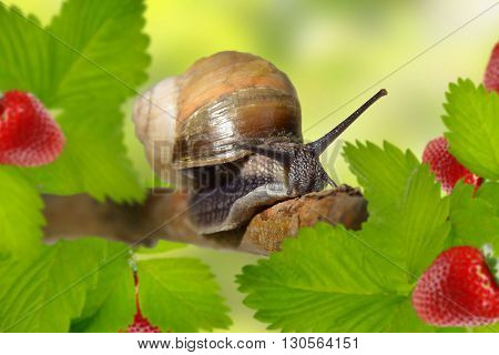 Voracious snail. Morning. Strawberry Breakfast. Curious snail in the garden eating strawberries .close-up