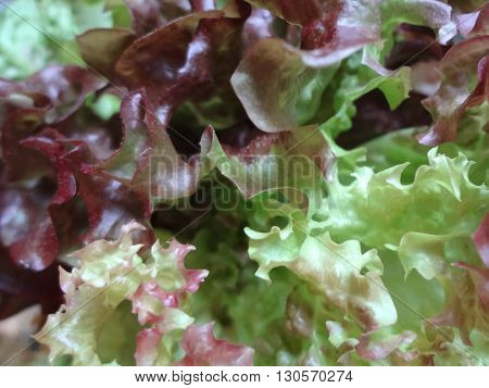 different varieties of lettuce leaves close to the camera