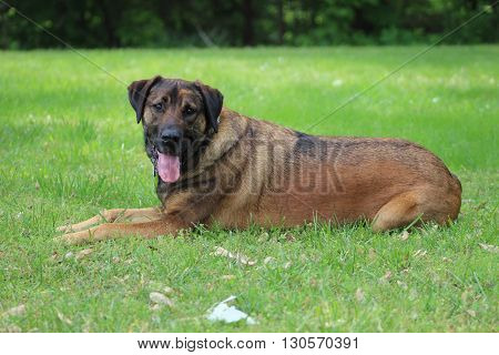 Large brown Mastiff dog lying in the grass resting
