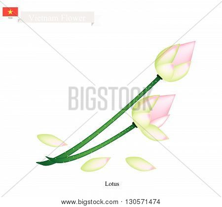 Vietnam Flower Illustration of Water Lily or Lotus Flowers. The National Flower of Vietnam..