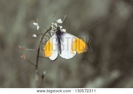 The Orange Tip Anthocharis cardamines is a butterfly in the Pieridae family.