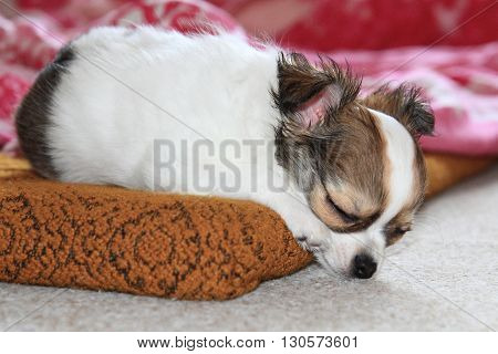 Longwoolled Chihuahua Puppy Sleeping