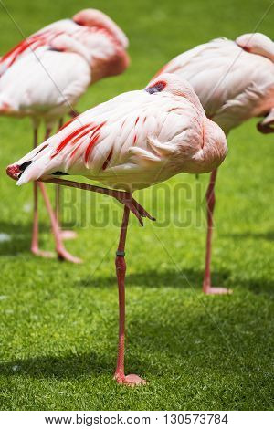 Group Of Pink Flamingos In Its Natural Environment.