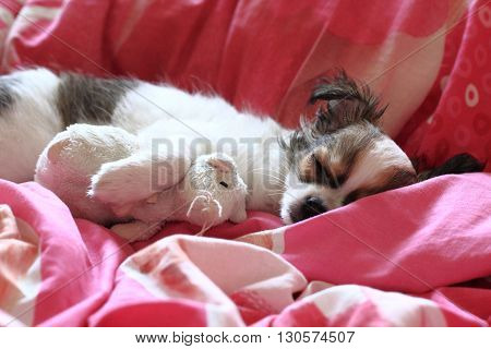 Longwoolled Chihuahua Puppy Sleeping With Her Mouse