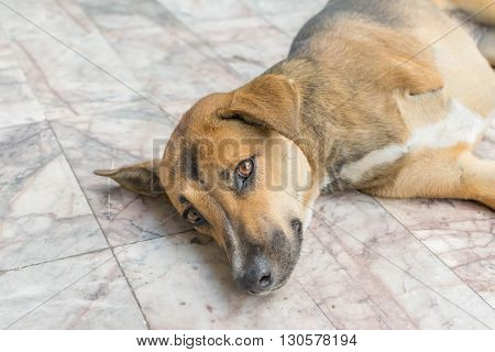 Defect Thai brown dog with three legs
