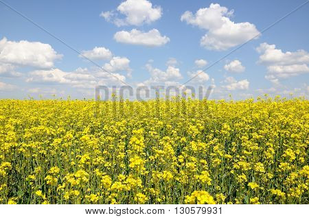 raps field with the blue cloudy sky