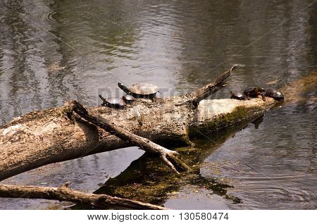 turtles sunning on a fallen tree in a small marsh area.
