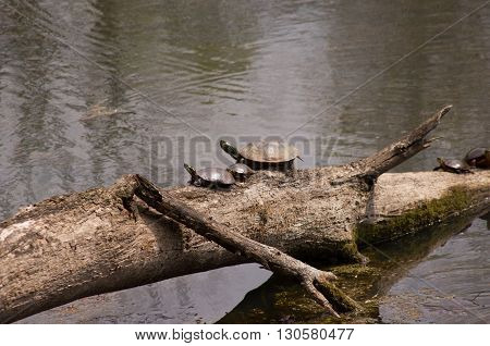 painted turtles on a log in a small pond