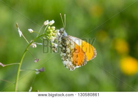 Spring meadow with butterfly - Orange Anthocharis butterfly