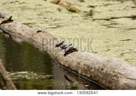 turtles on a log in a swamp sunning.