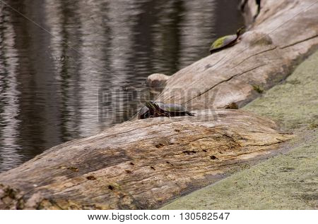 two painted turtles on a log head to head.