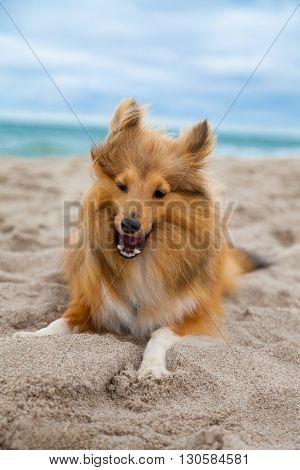 a shetland sheepdog lies on the beach