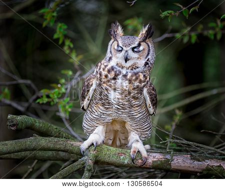a gray horned owl with closed eyes on a tree