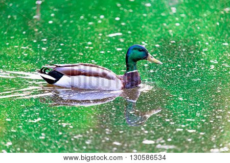 floating Mallard duck in the green pond