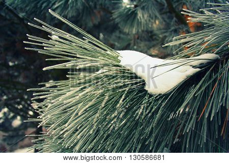 Winter detail of a pine twig in coniferous forest partly covered with white frozen snow with green needles.