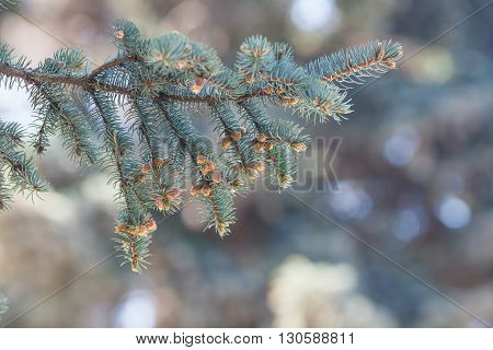 Young Sprouts On A Blue Spruce