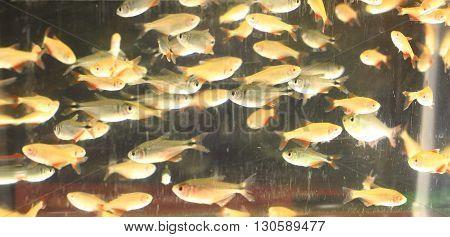 Guppy Fishes Background..