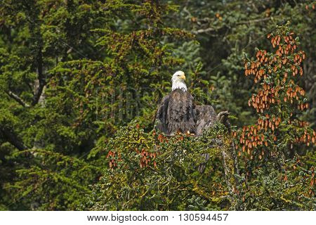 Bald Eagle Drying His Wings from the Morning Fog in the Valdez arm of Prince William Sound in Alaska