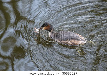 Great Crested Grebe (Podiceps cristatus) swimming with a caught European Perch (Perca fluviatilis) in it's beak