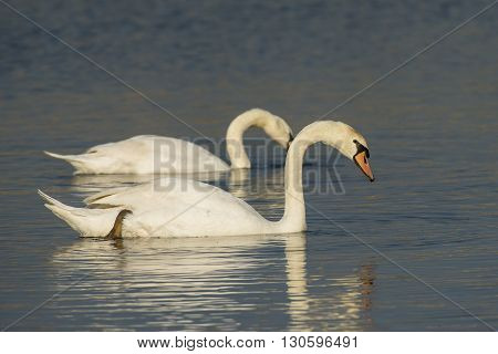Two Mute Swans (Cygnus olor) swimming in water