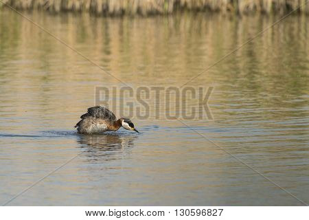 Red-necked Grebe (Podiceps grisegena) brush up the feathers after taking a bath