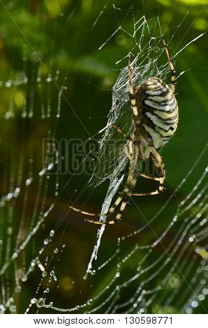 Black Yellow Spider on spiderweb at background from grass