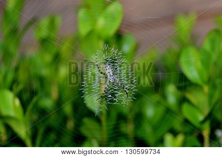 Black and white garden spider on unique zigzag patterned web