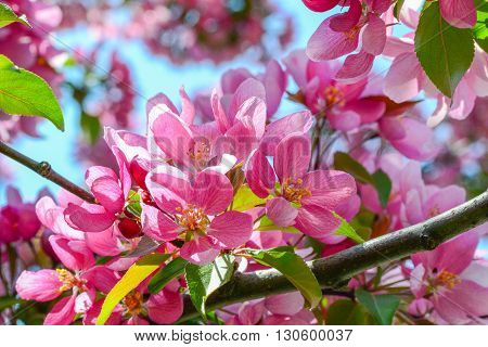 Cherry tree flowers on branch over blurred blue sky