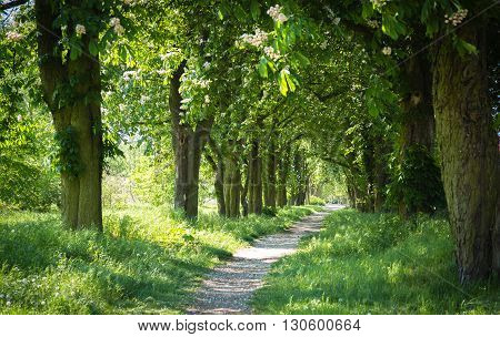 lonely way through green tree lined Avenue