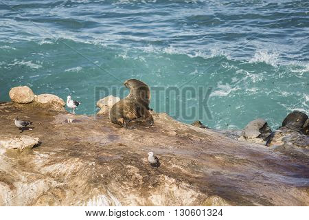 Wet sea lion sun bathing with arched back and three seagulls on a cliff by the ocean in La Jolla cove, San Diego, California