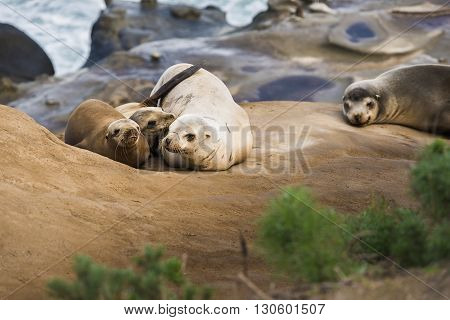 Family of four light, small sea lions cuddling and sleeping in the sun on a rocky beach in San Diego, California with plant foreground in La Jolla cove