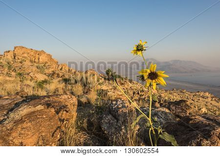 Sunset at the top of Antelope Island with yellow daisy flower at the foreground located near Salt Lake City, Utah.