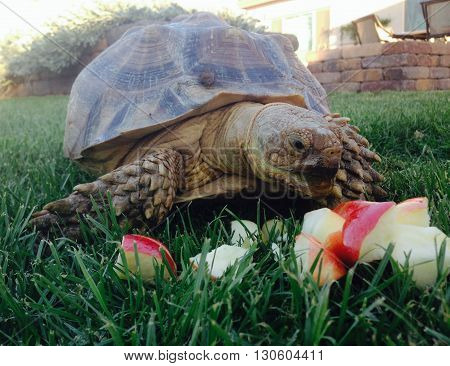 desert tortoise eating an apple as a snack