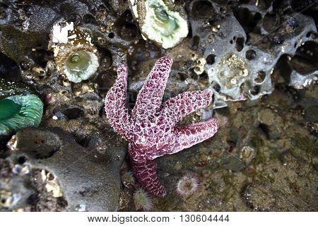 Purple Starfish in Oregon Water Tide pool