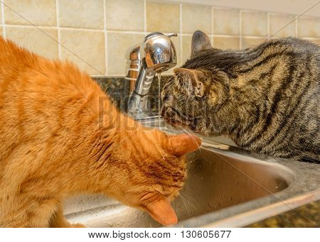 Funny cats drinking water from kitchen tap