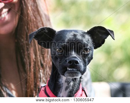 a cute boston terrier chihuahua mix with a funny under bite sitting on its unidentifiable owner's lap