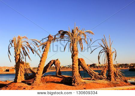 Old dead Palm Trees on the shore of the Beach.