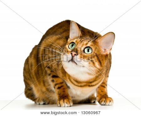 Cute Bengal Kitten In Crouch And Ready To Pounce To The Side