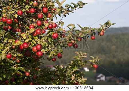 Apple tree with ripe fruit in nature