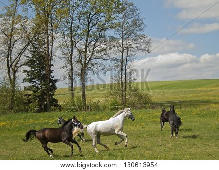 herd of horses galopping free on pasture
