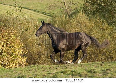 beautiful black horse run free on meadow